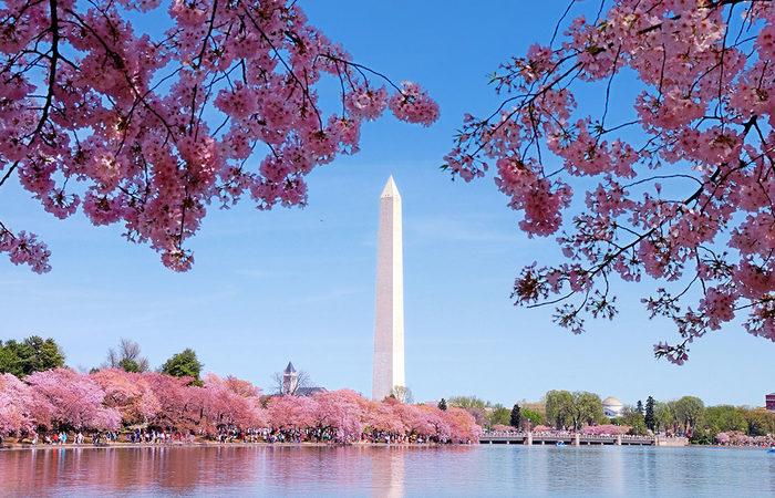 DC cherry-blossom